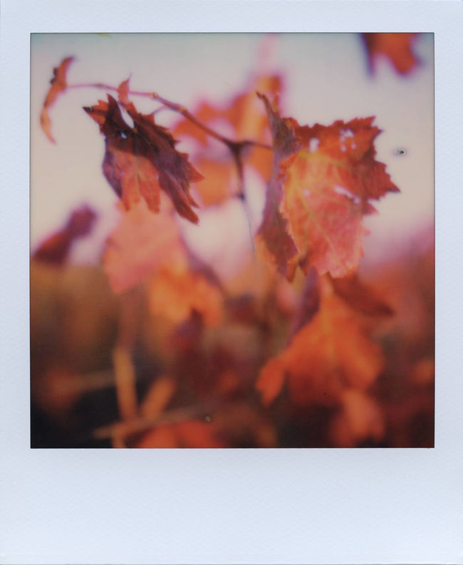 This is happening - my very first shot taken with the new Polaroid Originals SX-70 film. Let's all cheer to this marvelous Autumn! Analogue Analogue Photography Autumn Autumn Colors Autumn Leaves Fall Colors Instant Photography Analog Autumn Beauty In Nature Close-up Leaf Leaves Maple Leaf Nature No People Outdoors Polaroid