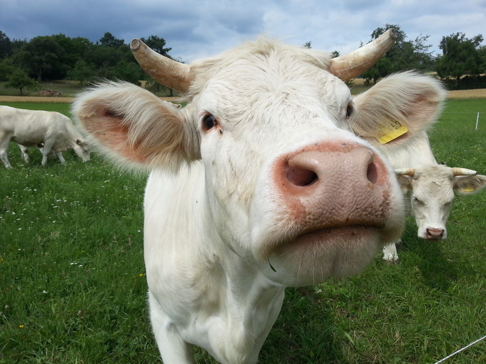 Beautiful stock photos of meadow, Animal Hair, Animal Nose, Animal Themes, Cattle