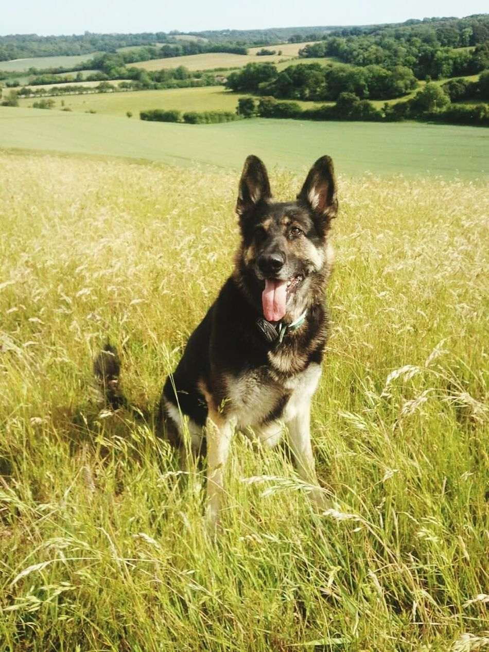 German Shepherd Dogs Outdoors Waltham Kent