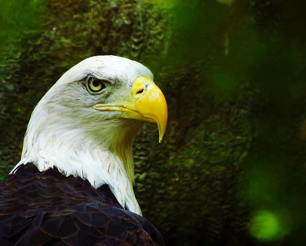 Beautiful stock photos of bald eagle, animal themes, bird, one animal, animals in the wild