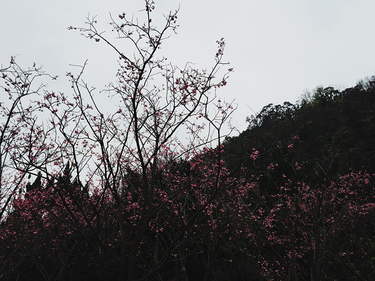Cherry Blossoms Taiwan Yang Ming Shan  Flowers,Plants & Garden