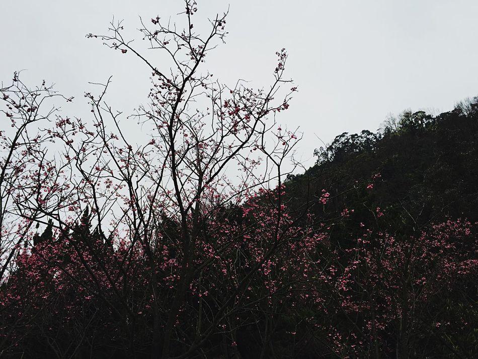 Cherry Blossoms Taiwan Yang Ming Shan  Flowers,Plants & Garden