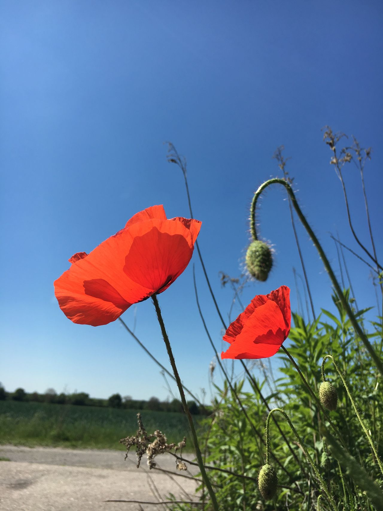 Poppy Flower Growth Flower Plant Nature Poppy Beauty In Nature Clear Sky No People Field Blue Day Outdoors Red Fragility Sky Freshness Flower Head Close-up Poppy Flowers Poppies