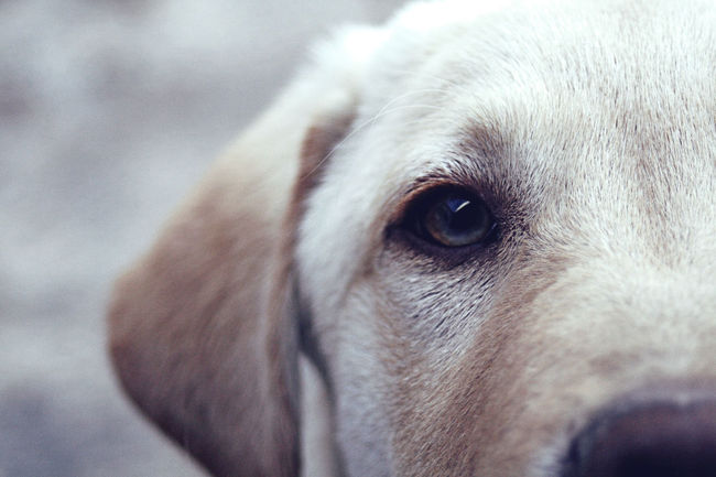 One Animal Animal Eye Animal Themes Labrador Retriever First Eyeem Photo Hi! Eye For Photography Enjoying Life Leica Taking Photos EyeEm Adana Türkiye Mydog♡ Freud