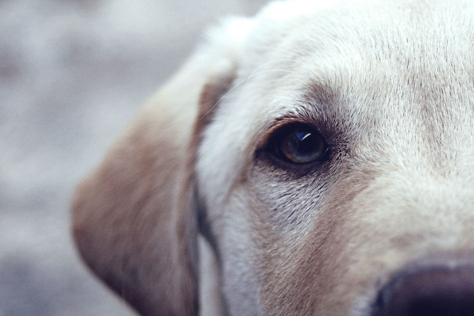 One Animal Animal Eye Animal Themes Labrador Retriever First Eyeem Photo Hi! Eye For Photography Enjoying Life Leica Taking Photos EyeEm Adana Türkiye Mydog♡ Freud