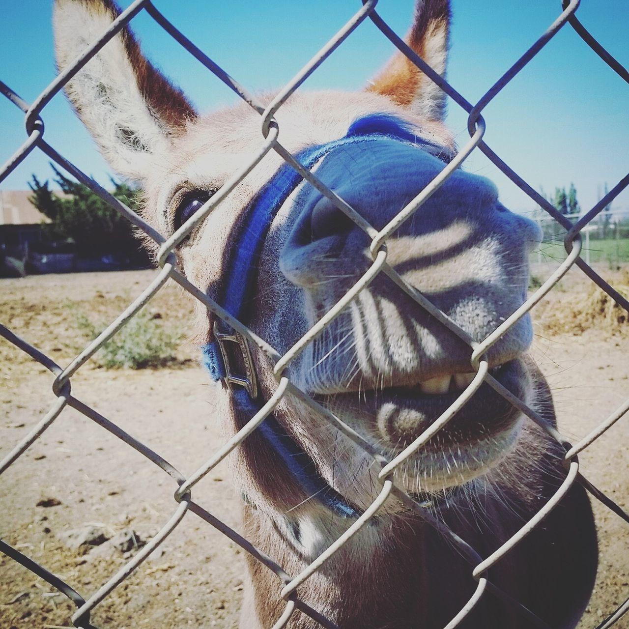 Donkey Shrek Gilroy Not A Horse