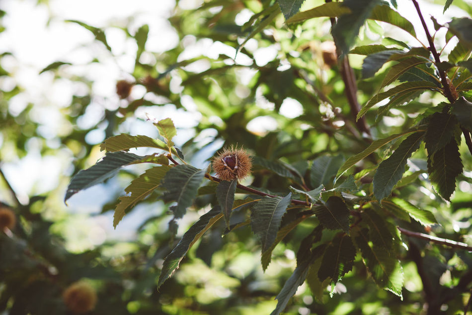 Autumn Beauty In Nature Chestnut Chestnuts Close-up Day Fruit Green Color Growth Leaf Nature No People Outdoors Tree Tree