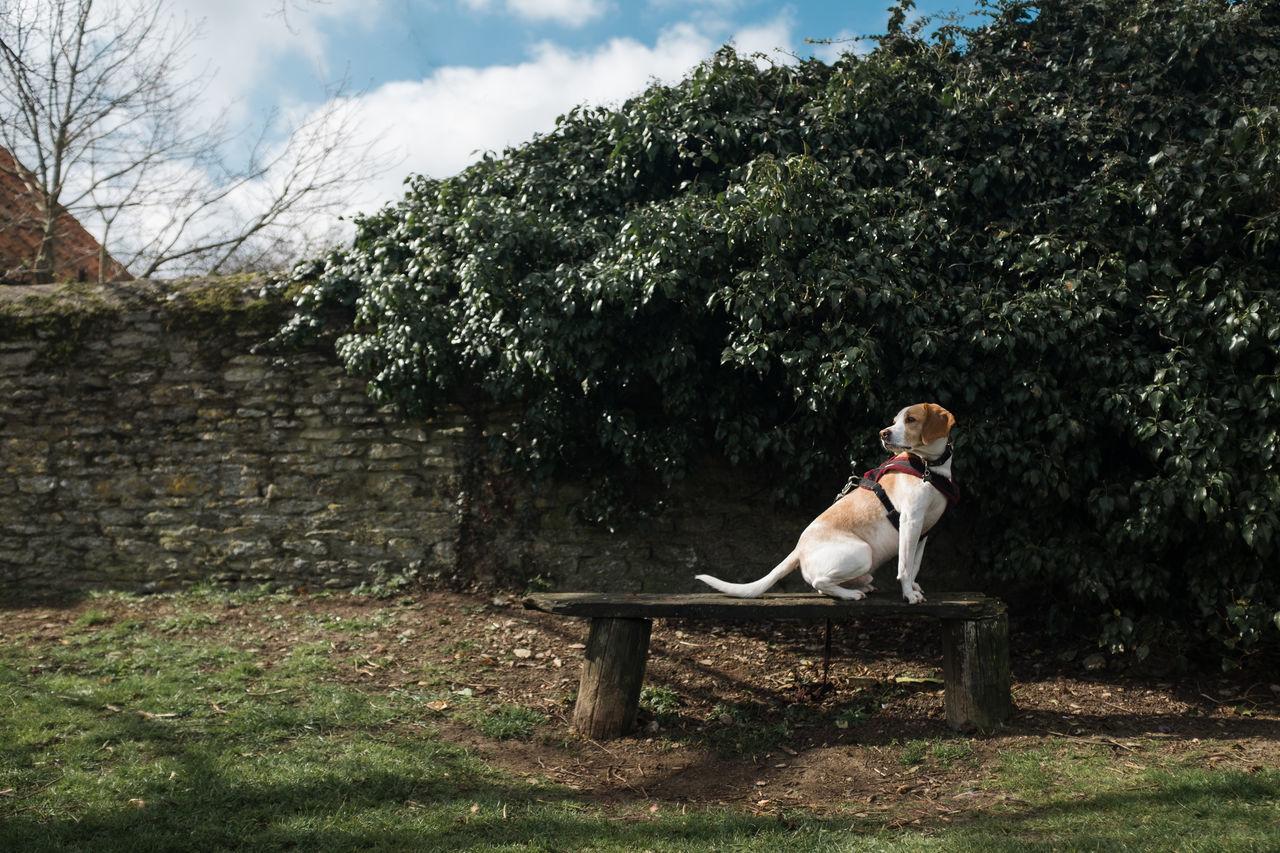 Beautiful stock photos of tiere, Animal Themes, Beagle, Day, Dog