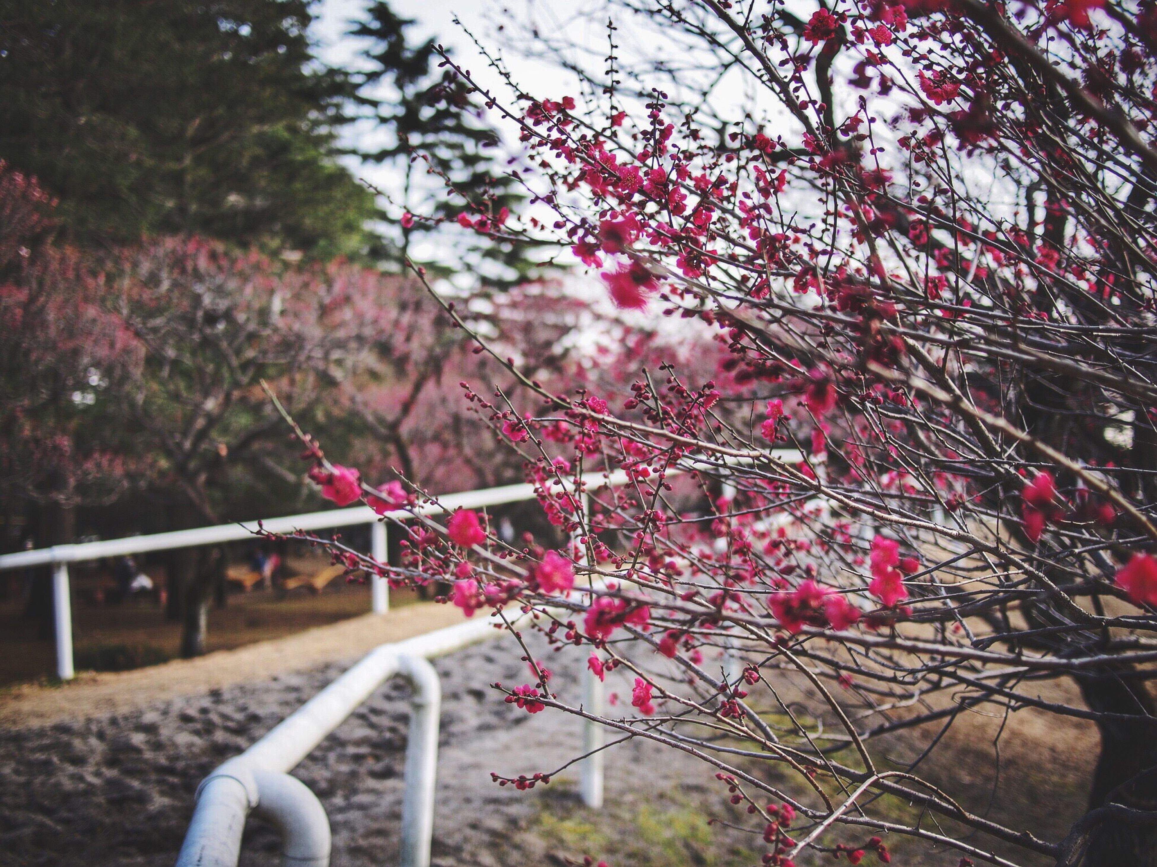 flower, tree, pink color, growth, branch, nature, freshness, fragility, beauty in nature, sunlight, railing, blossom, day, outdoors, no people, focus on foreground, park - man made space, pink, close-up, plant