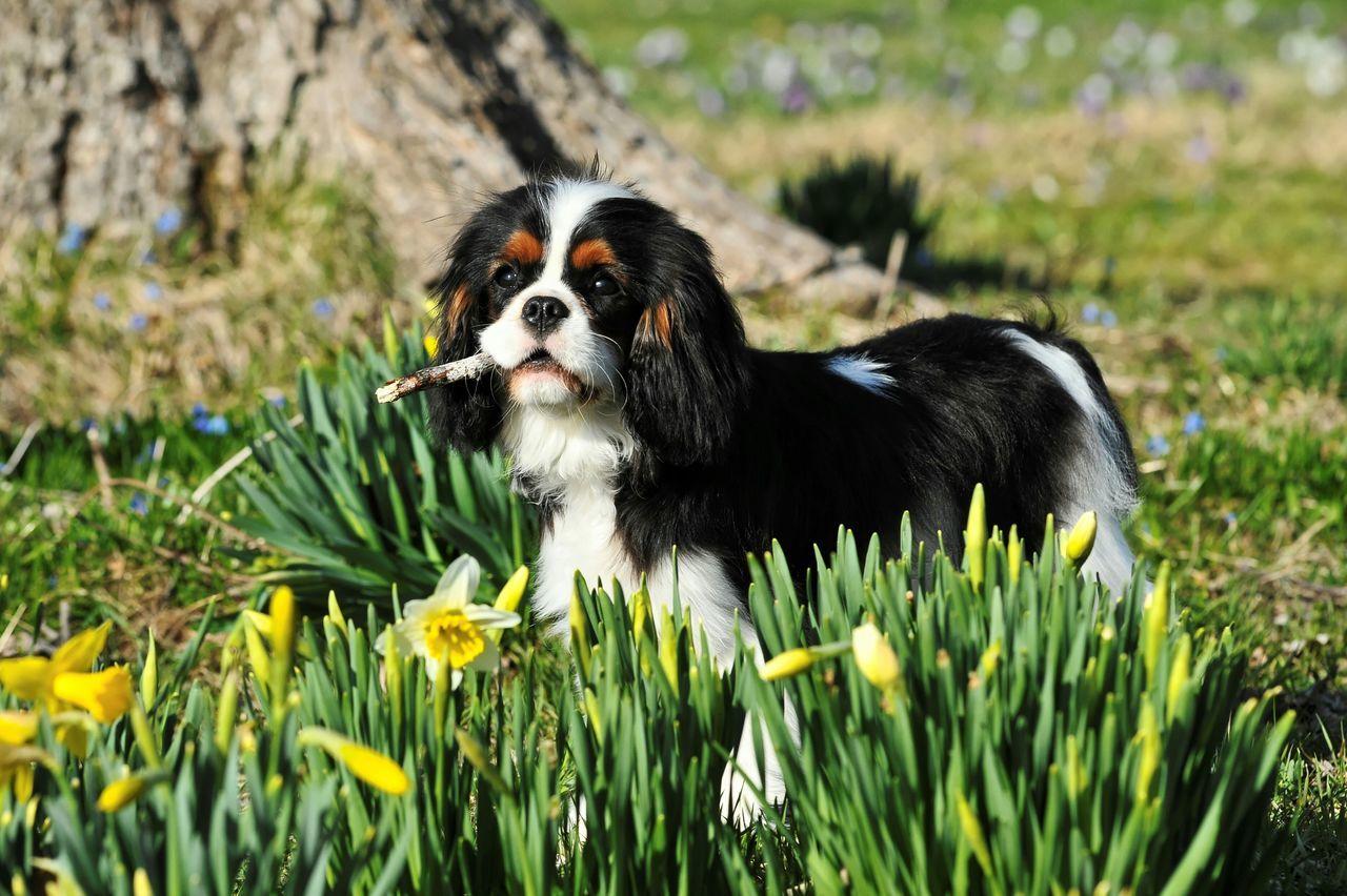 Reminder of Beautiful Spring. Cavalier King Charles Spaniel Ckcs Cavalierkingcharles Springtime Dog Puppy Cavalier Tricolor