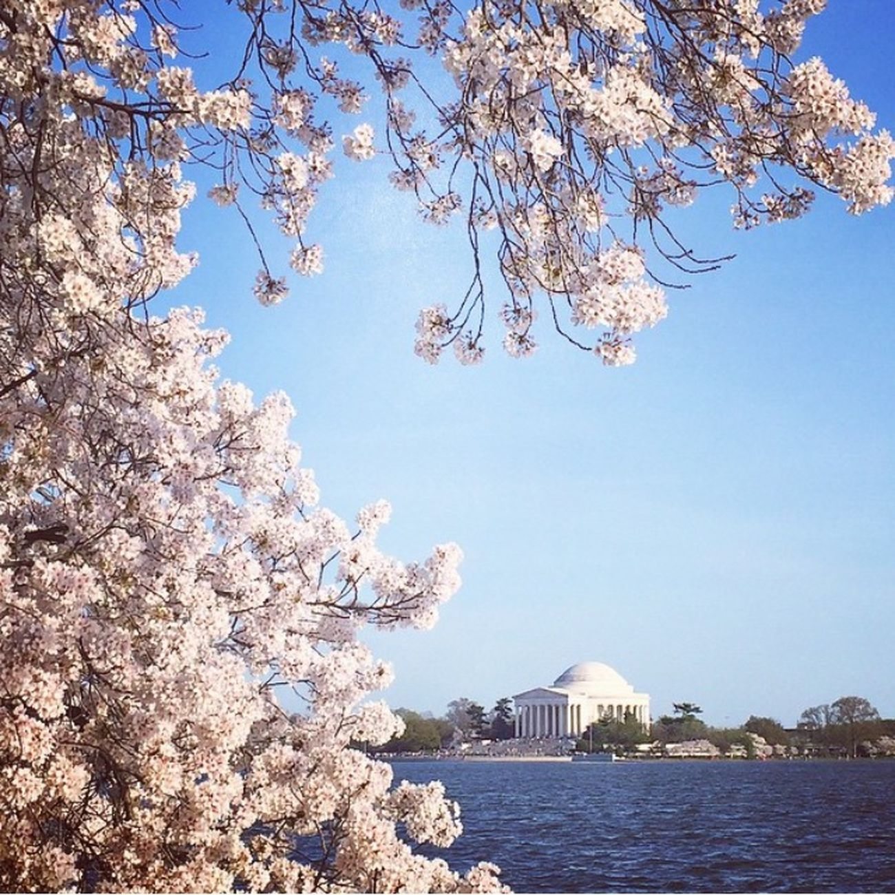 Cherry Blossoms Jefferson Memorial Spring