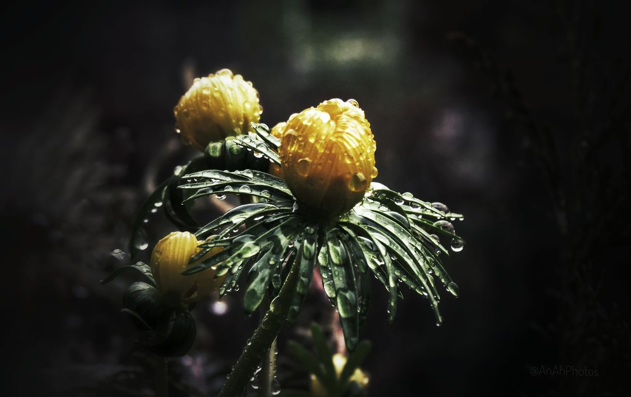 🌿🌷🌿 The first winterlings / Eranthis hyemalis are there.😀 Black Background Focus On Foreground Garden Photography Close-up Flower Blooming Flower Head Beauty In Nature Garden Flowers Garden Waterdrops Rain EyeEm Nature Lover Yellow Flower