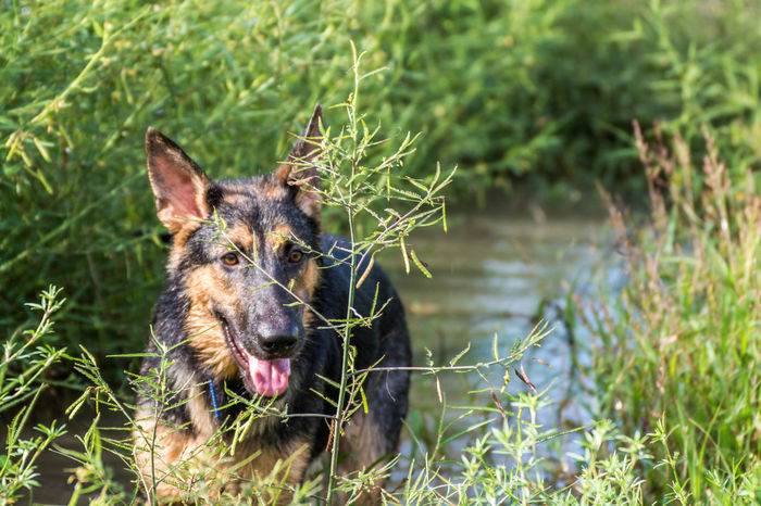 Alertness Alsatian Animal Animal Themes Close Up Close-up Curiosity Day Dog Domestic Animals Focus On Foreground German Shepherd Grass Mammal No People One Animal Pets Public Transportation Relaxation Relaxing Zoology