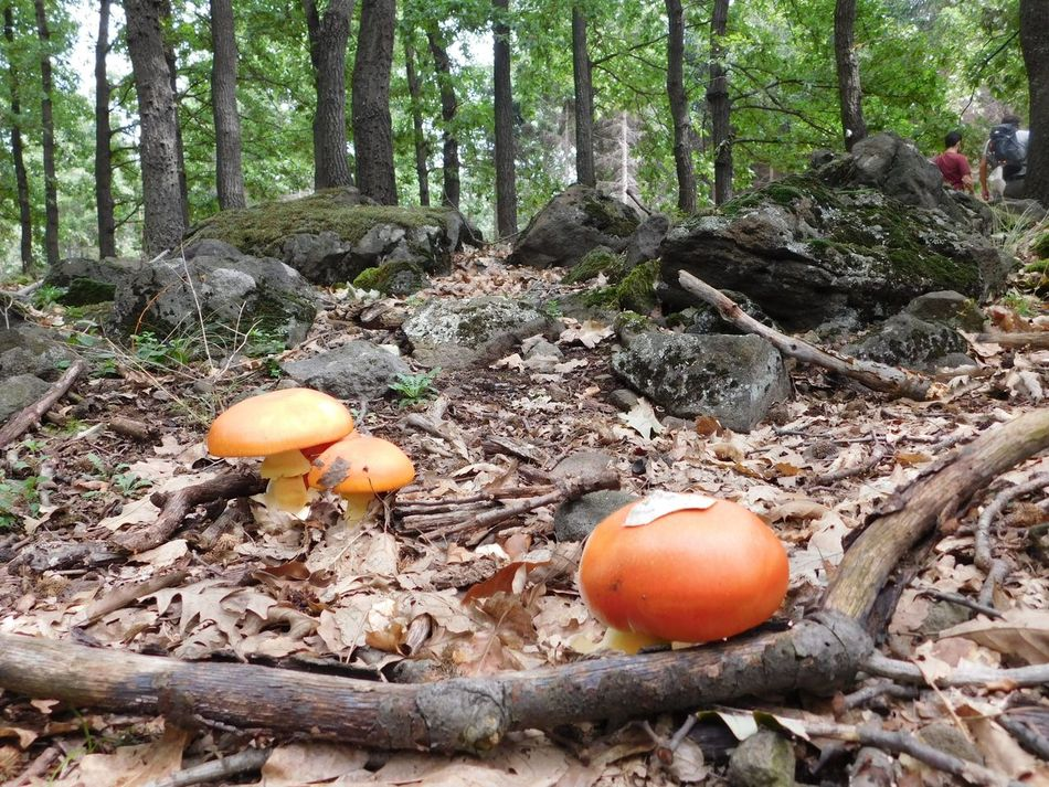 Beauty In Nature Muschrooms Mátra Mountain Orange Color Walking In The Forest WoodLand