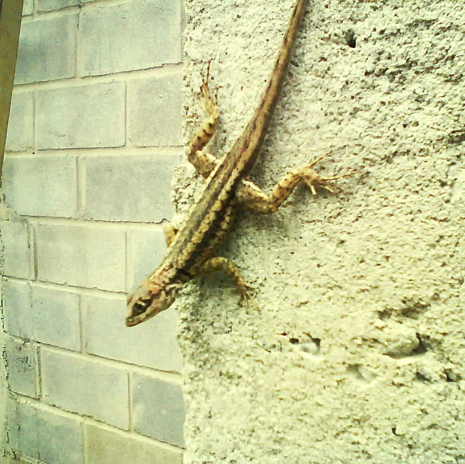 Reptile Animals In The Wild Animal Themes One Animal No People Lizard Animal Wildlife Day Outdoors Close-up Lagarto Obras BIG Camaleão Riodasostras
