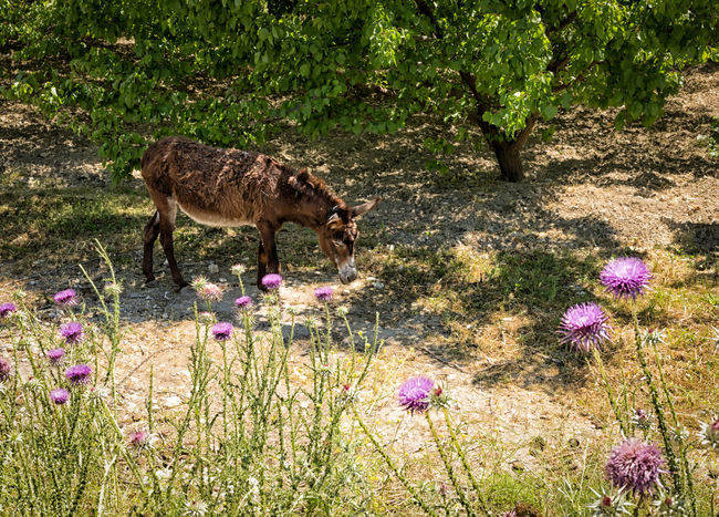 Donkey in the Shade Animal Themes Beauty In Nature Dirt Dirt Road Ditch Domestic Animals Donkey Field Flower Grass Mammal Mule Mut Nature One Animal Pet Plant Thistle Flower Turkey
