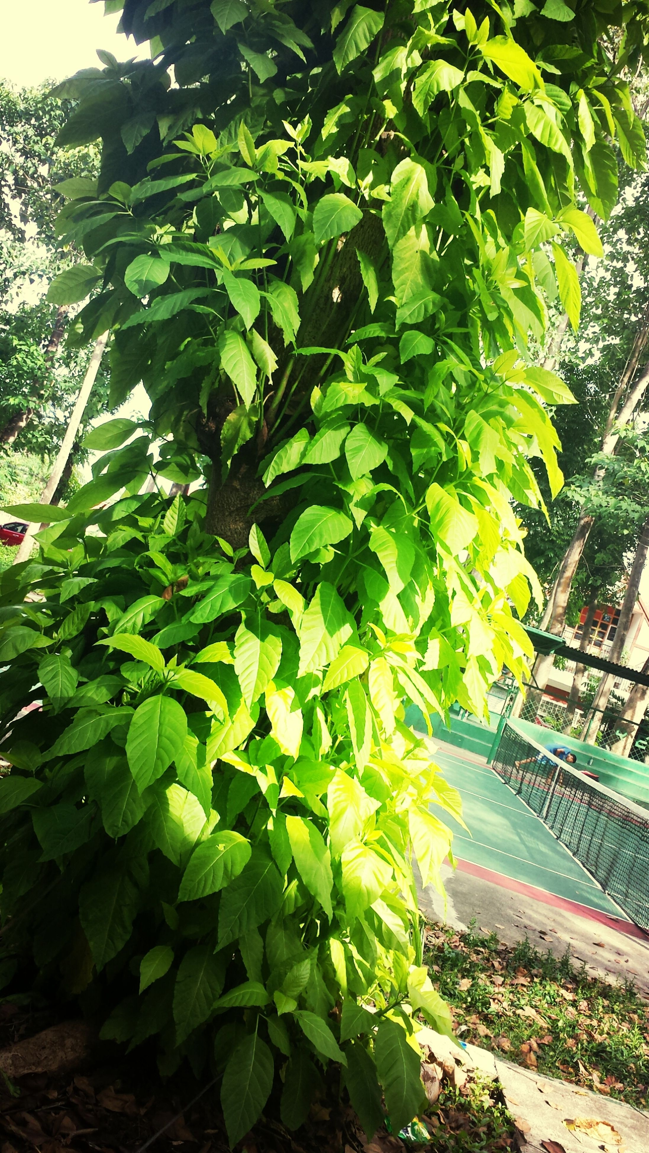 tree, growth, green color, leaf, plant, branch, low angle view, nature, lush foliage, sunlight, outdoors, day, green, no people, built structure, beauty in nature, railing, architecture, growing, tranquility