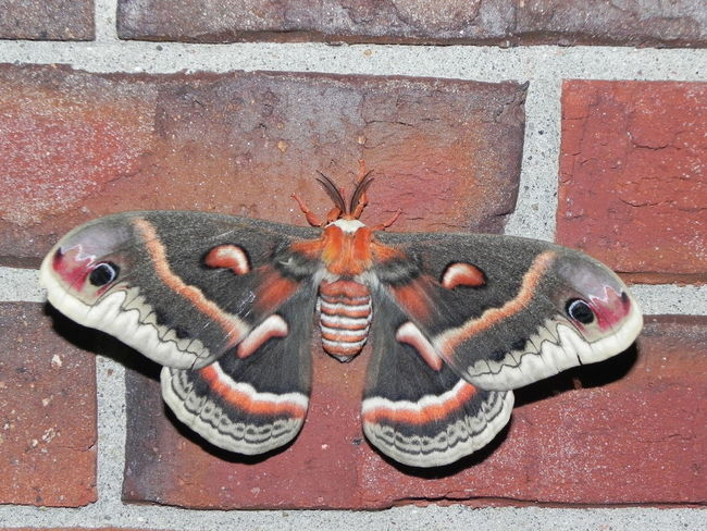 An adult cecropia moth on a brick wall. Bricks Burnt Orange Cecropia Insect Large Moth Lepidoptera Moth Outdoors
