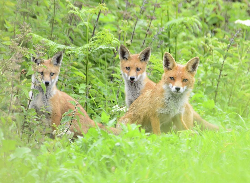Animal Themes Animals In The Wild Dog Food Focus On Foreground Food Foxes And Her Young Grass Nature Vixen Wild Animals Up Close Wild Foxes Wildlife Photography Young Animal