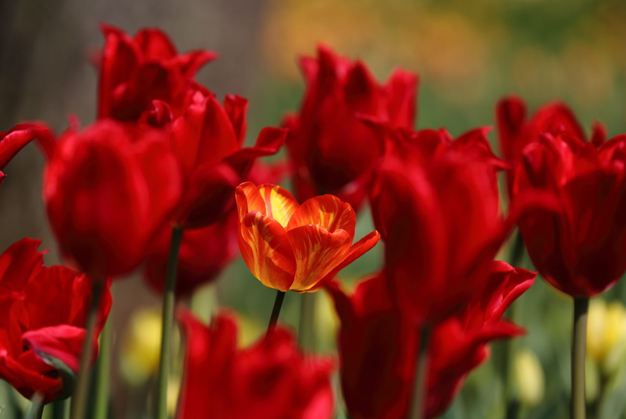 CLOSE-UP OF RED TULIPS BLOOMING