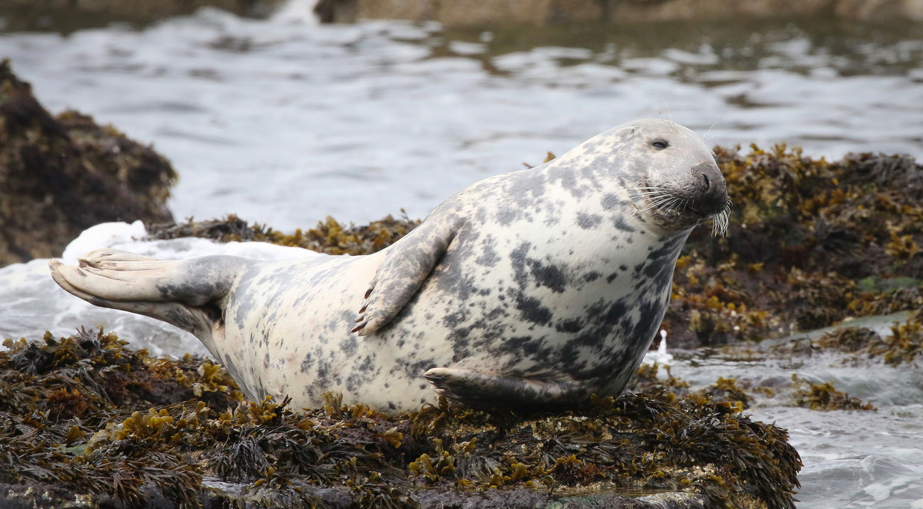 Grey Seal in the Farne Islands Animal Themes Animal Wildlife Animals In The Wild Aquatic Mammal Close-up Day Mammal Nature No People One Animal Outdoors Rock - Object Sea Water