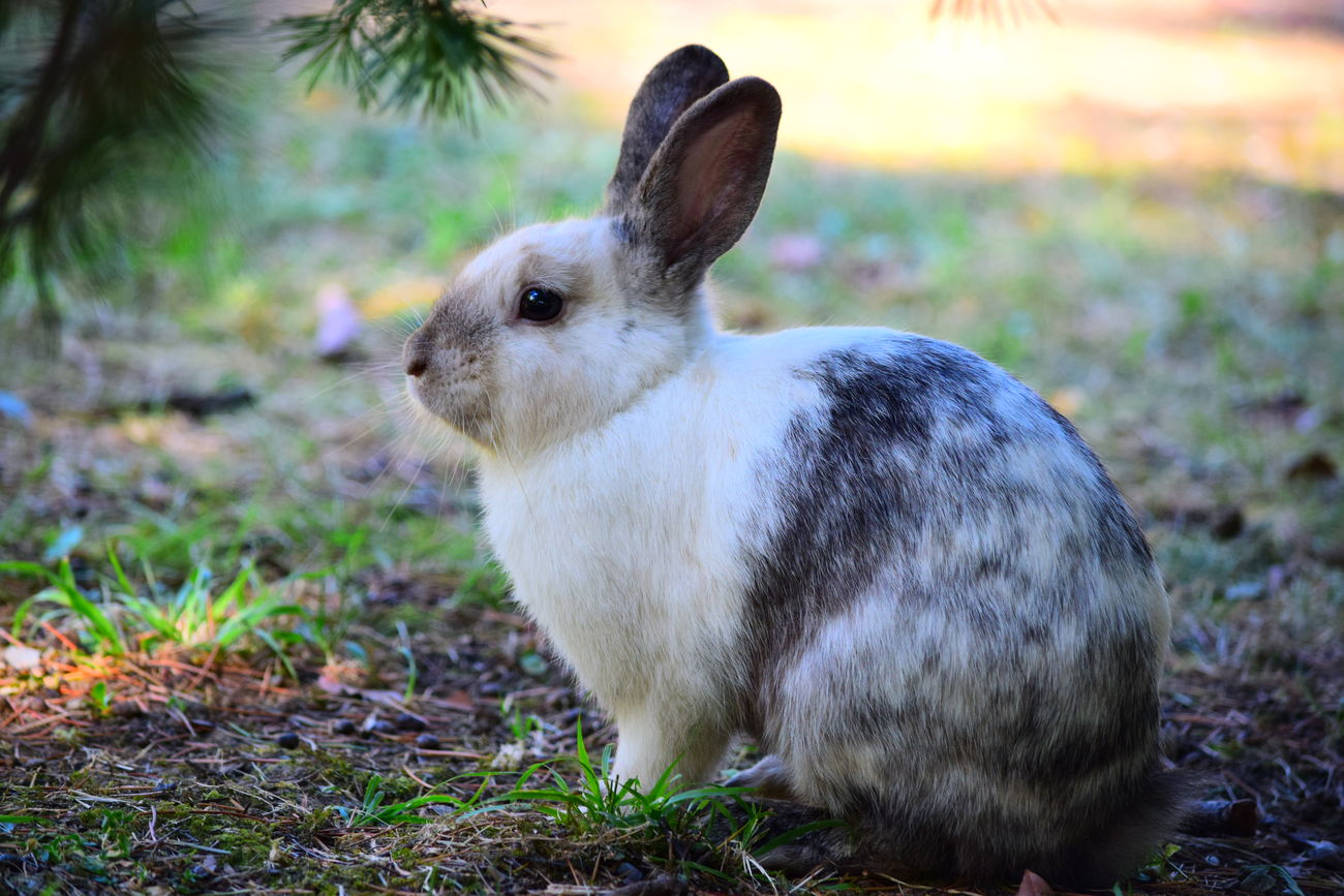 RABBIT Animal Themes One Animal Animal Themes Looking Away Close-up Field Domestic Animals Focus On Foreground Alertness Mammal Animal Head  Zoology Nature Livestock Tranquility Beauty In Nature No People