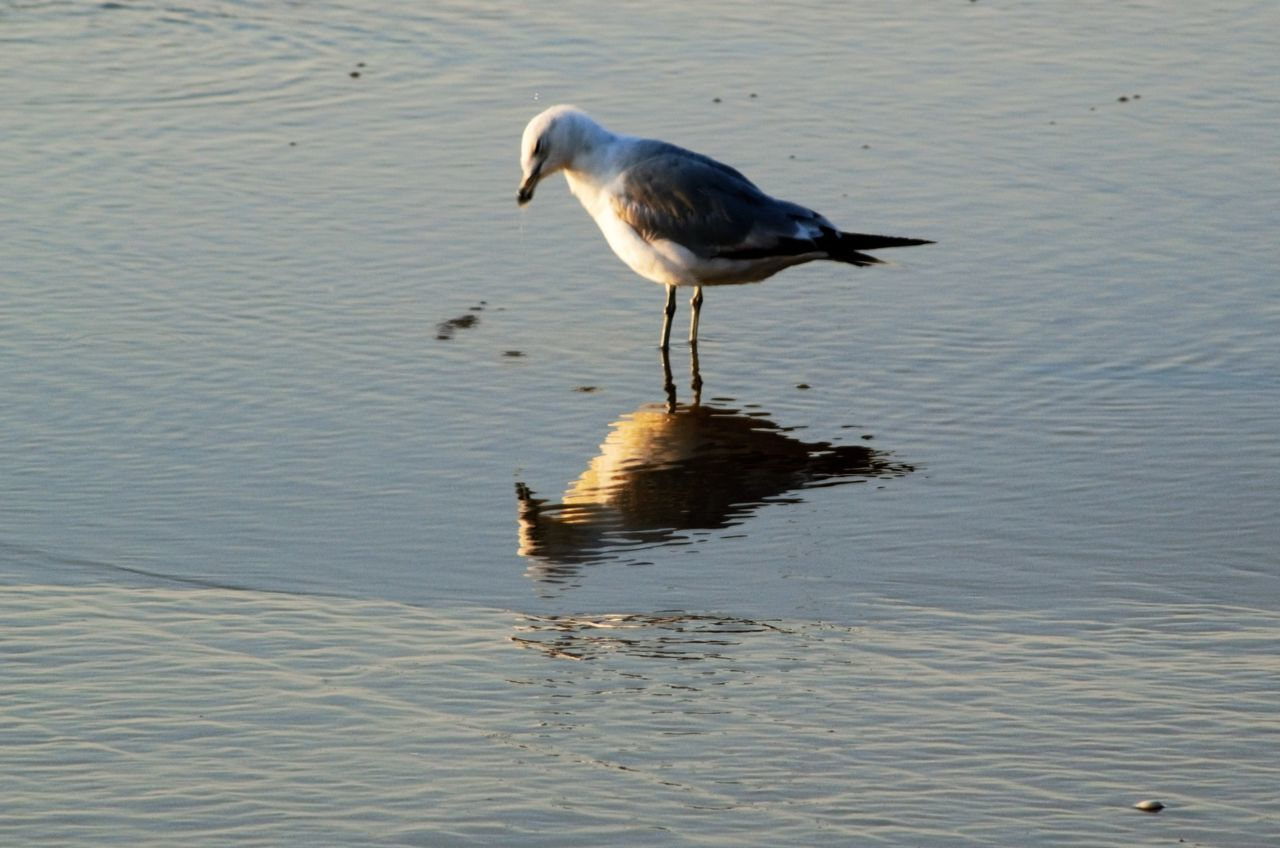bird, one animal, animals in the wild, animal themes, animal wildlife, reflection, water, nature, lake, day, outdoors, no people, perching