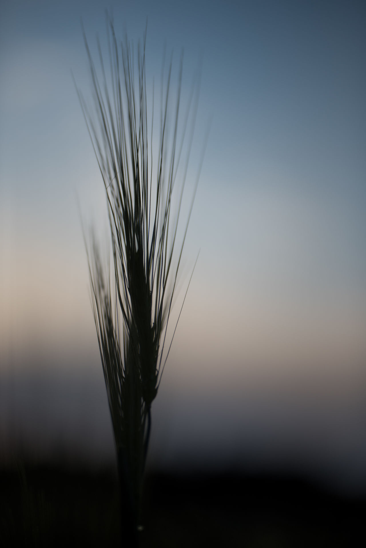Evening walk along a barley field. Nice how the crop is reflecting the setting sun Backlight Barley Blue Hour Evening Light Selective Focus Spike Standing Out Sunset View From Below