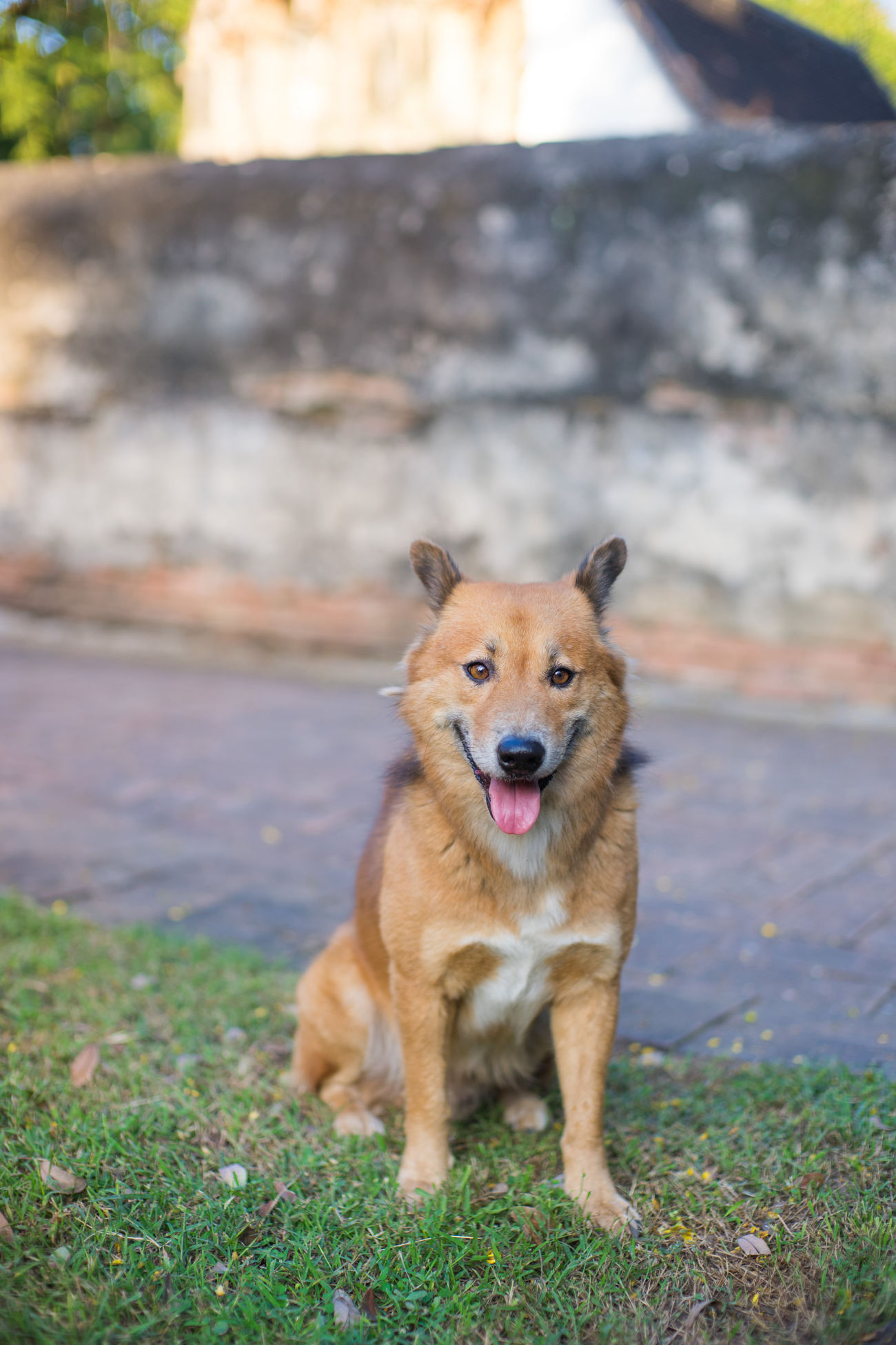 Dog in a Temple Animal Animal Photography Animal Themes Animal Tongue Animal_collection Animals Day Dog Dogs Dogs Of EyeEm Domestic Animals Grass Looking At Camera Mammal Motion Nature No People One Animal Outdoors Pets Portrait Puppy Stray Cat Tounge Out