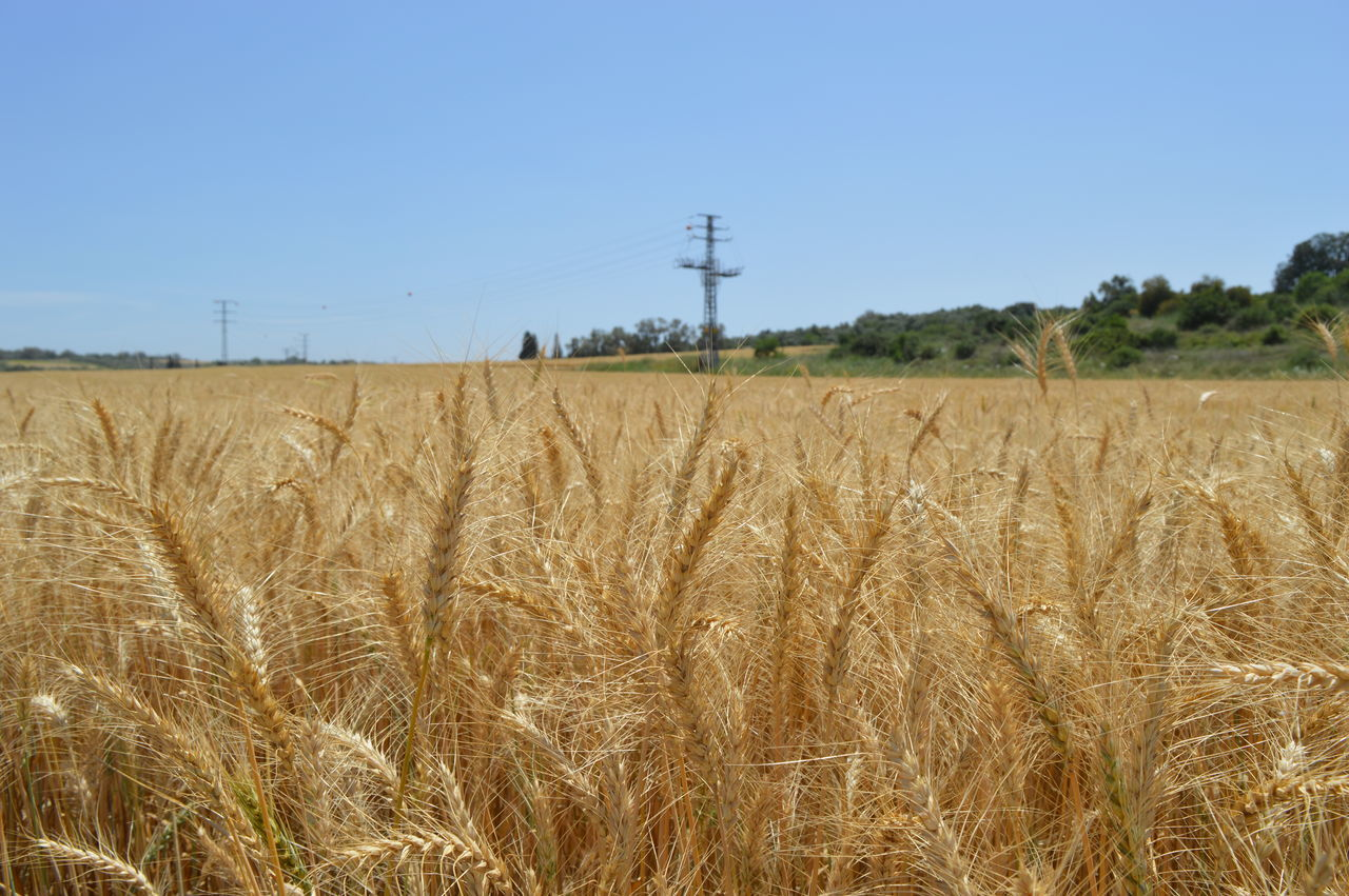 field, agriculture, nature, landscape, rural scene, tranquil scene, day, tranquility, cereal plant, clear sky, beauty in nature, growth, cable, outdoors, scenics, no people, sky, ear of wheat, electricity pylon, wheat