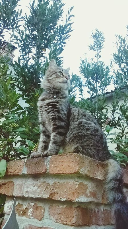 Cats Domestic Cat Feline Domestic Animals Animal Themes Bosslife Lionheart Outdoors