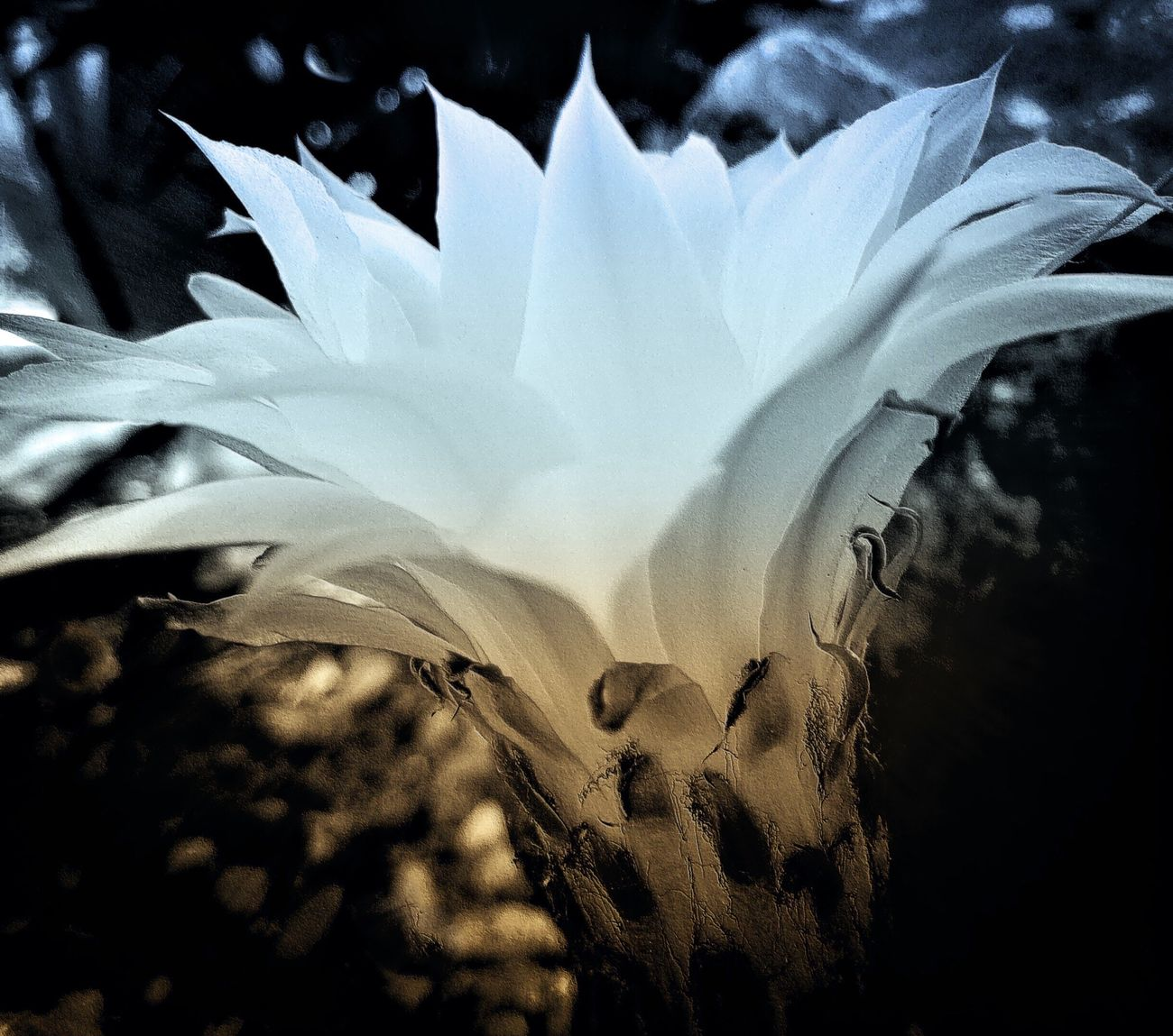 Gift in the Garden. Cactus Flower Phototransformation Digital Expression Mobile Art Flower Art From My Point Of View Cactus Garden, Desert Bloom IPhoneography Gift From The Garden White Flower Sunday Art
