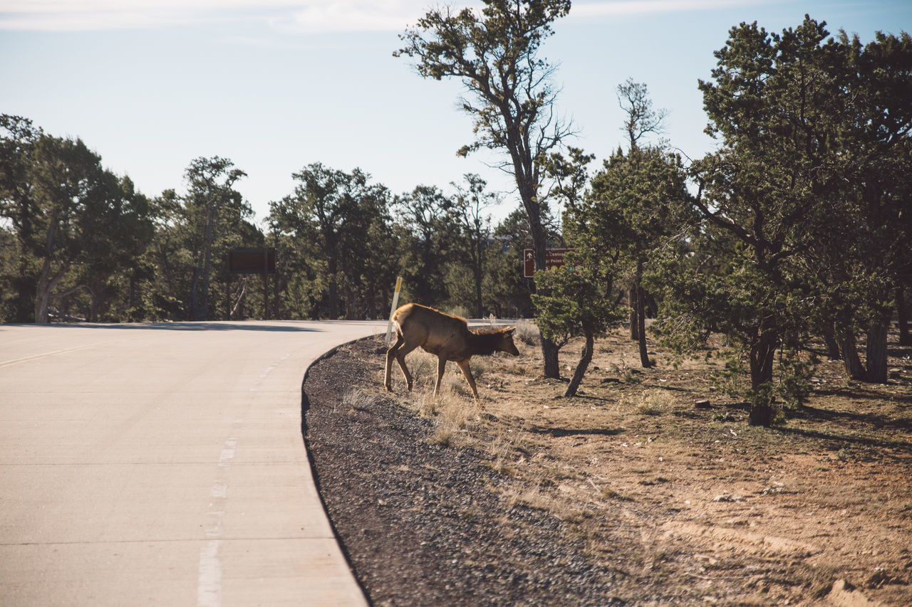 tree, animal themes, domestic animals, mammal, one animal, day, nature, road, livestock, outdoors, full length, no people, sky
