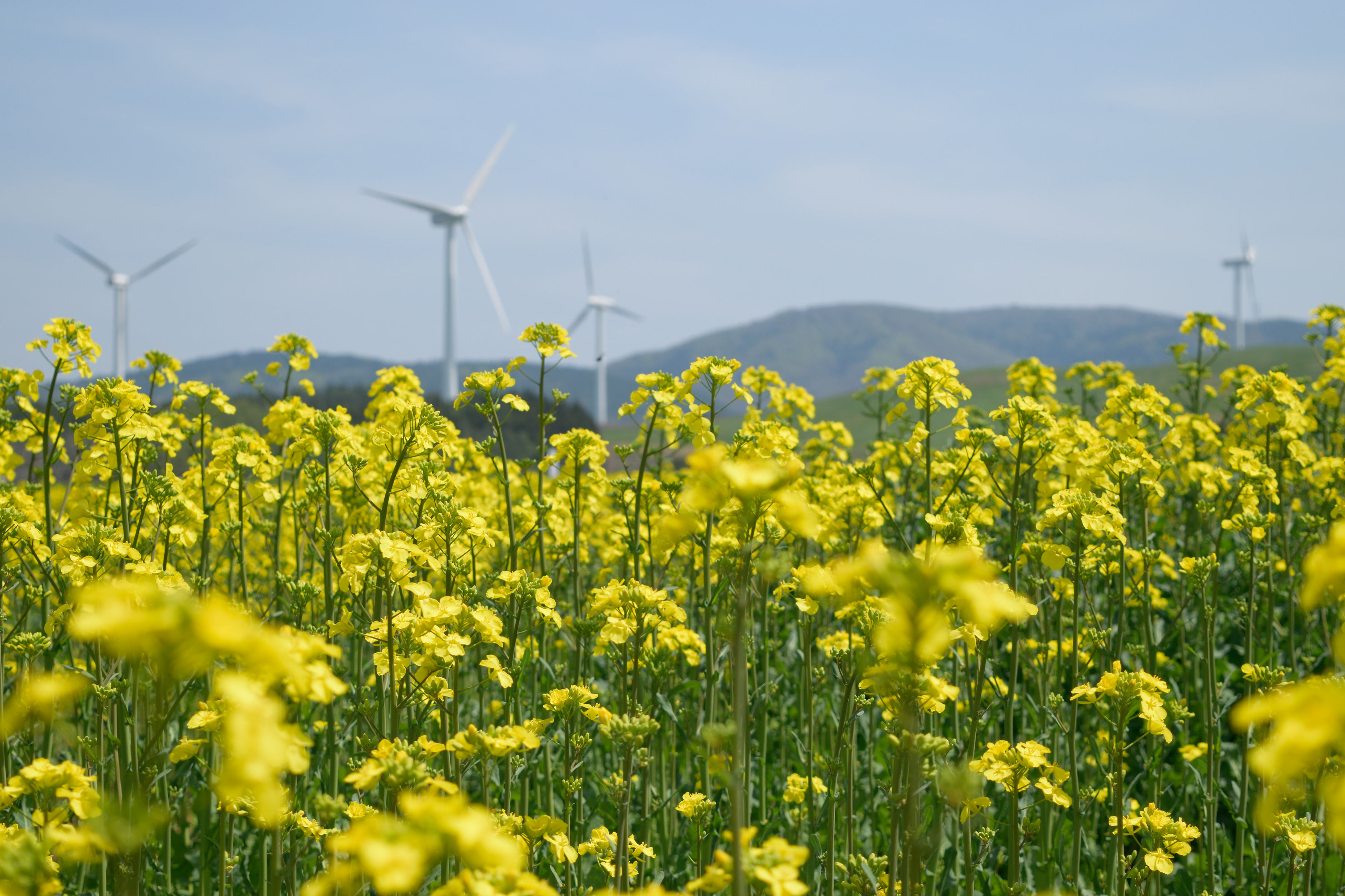 flower, yellow, field, growth, rural scene, agriculture, freshness, beauty in nature, plant, landscape, nature, farm, fragility, sky, wind power, crop, oilseed rape, windmill, alternative energy, day