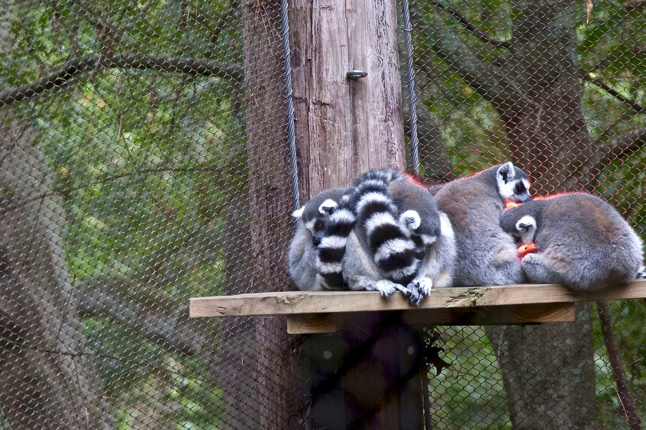 Black And White Black Color Cold Cuddle Day Focus On Foreground Grass Huddle Lemur Mammal Nature No People Outdoors Portrait Relaxation Sleeping Tree Trunk Wood - Material Wooden Young Animal