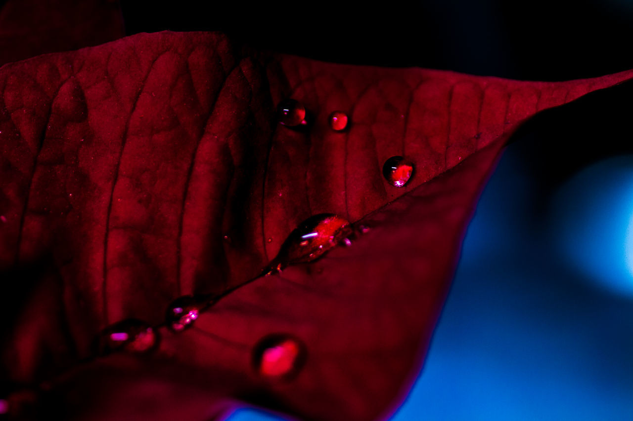 Drastic Edit Atmospheric Mood Blue Darkness And Light Day Drop EyeEm Best Shots EyeEm Nature Lover Fine Art Flower Fragility Leaf Macro Nature Naturelovers No People Outdoors Poinsettia Raindrops Red Red Taking Photos Waterdrops Getting Inspired Macro Beauty