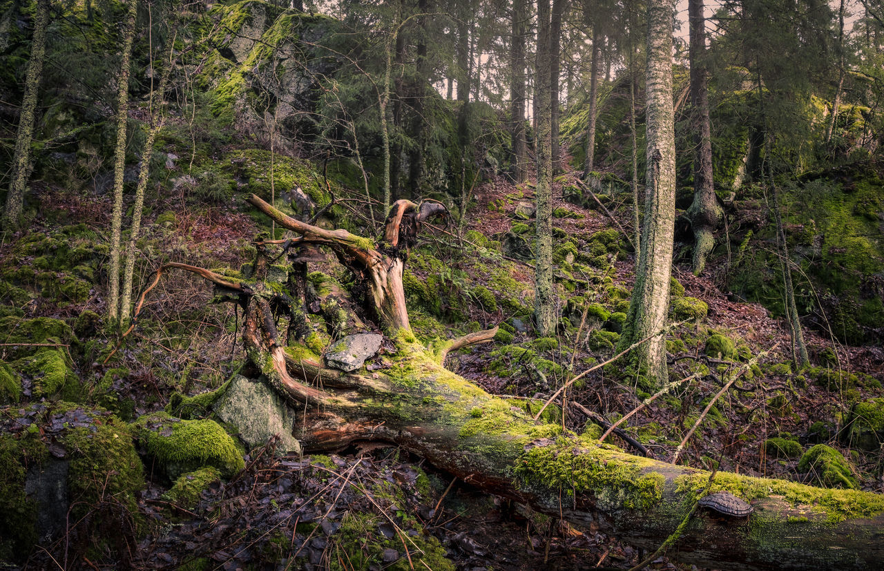 Primeval forest in Hyvinkää, Finland. Beauty In Nature Deadwood  Environment Falling Tree Forest Idyllic Landscape Moss Natural Disaster Nature Nature Reserve No People Old Outdoors Primeval Scenics Tranquility Tree Tree Area WoodLand Worn