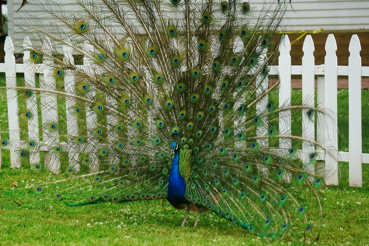Beautiful stock photos of peacock,  Animal Themes,  Animals In The Wild,  Beauty In Nature,  Cage