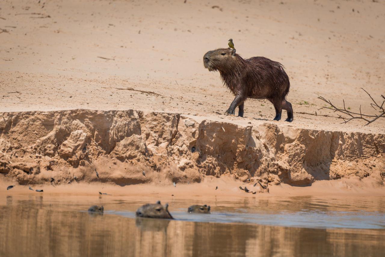 Beautiful stock photos of krokodil,  Animal Wildlife,  Animals In The Wild,  Bird,  Capybara