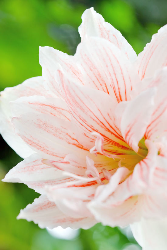 Amaryllis Flower Amaryllis Belladonna Flowers,Plants & Garden Amaryllis Beauty Amaryllis Flower Amaryllis In Bloom Amaryllis Plant Beauty In Nature Close-up Day Flower Flower Collection Flower Head Flower Photography Flowers Fragility Freshness Nature No People Petal White Flower