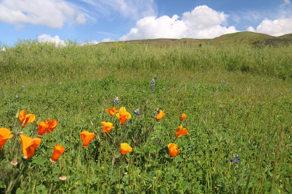 Walk along Coyote Creek Trail Morgan Hill Flower Growth Beauty In Nature Nature Sky Cloud - Sky Freshness Fragility Blossom Wildflower California Poppy Blooming Green Color Field Grass