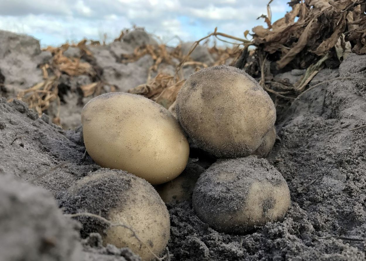 Whites potatoes tucked into a potato bed. Potato White Potatoes LaChipper No People Soil Sand Sand Soil Harvest Commercial Agriculture Farming Farm Life Agriculture Potato Production Crop Production Visual Feast Perspectives On Nature Food Stories