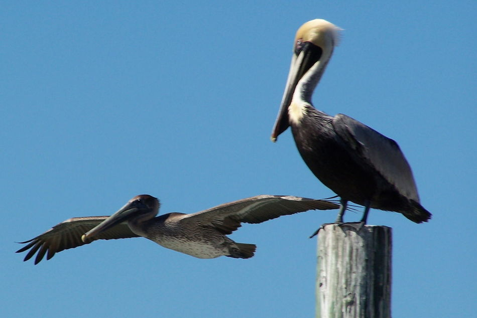 Bird Blue Sky Brown Pelicans Clear Sky Day In Flight Pelican Low Angle View No People Outdoors