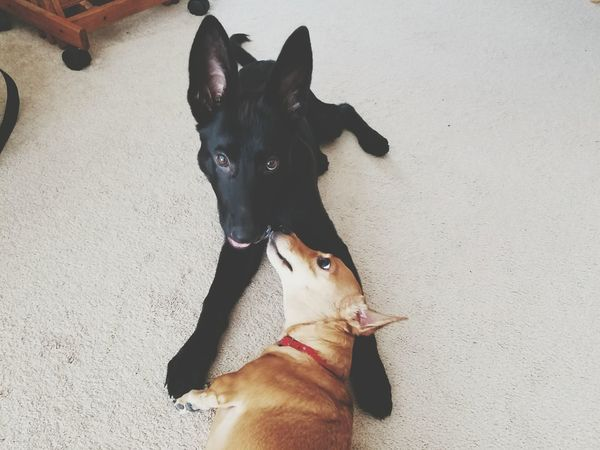 Pearl and Cricket Domestic Animals Canine Companion German Shepherd Black Gsd Hanging Out Puppy Dachshund