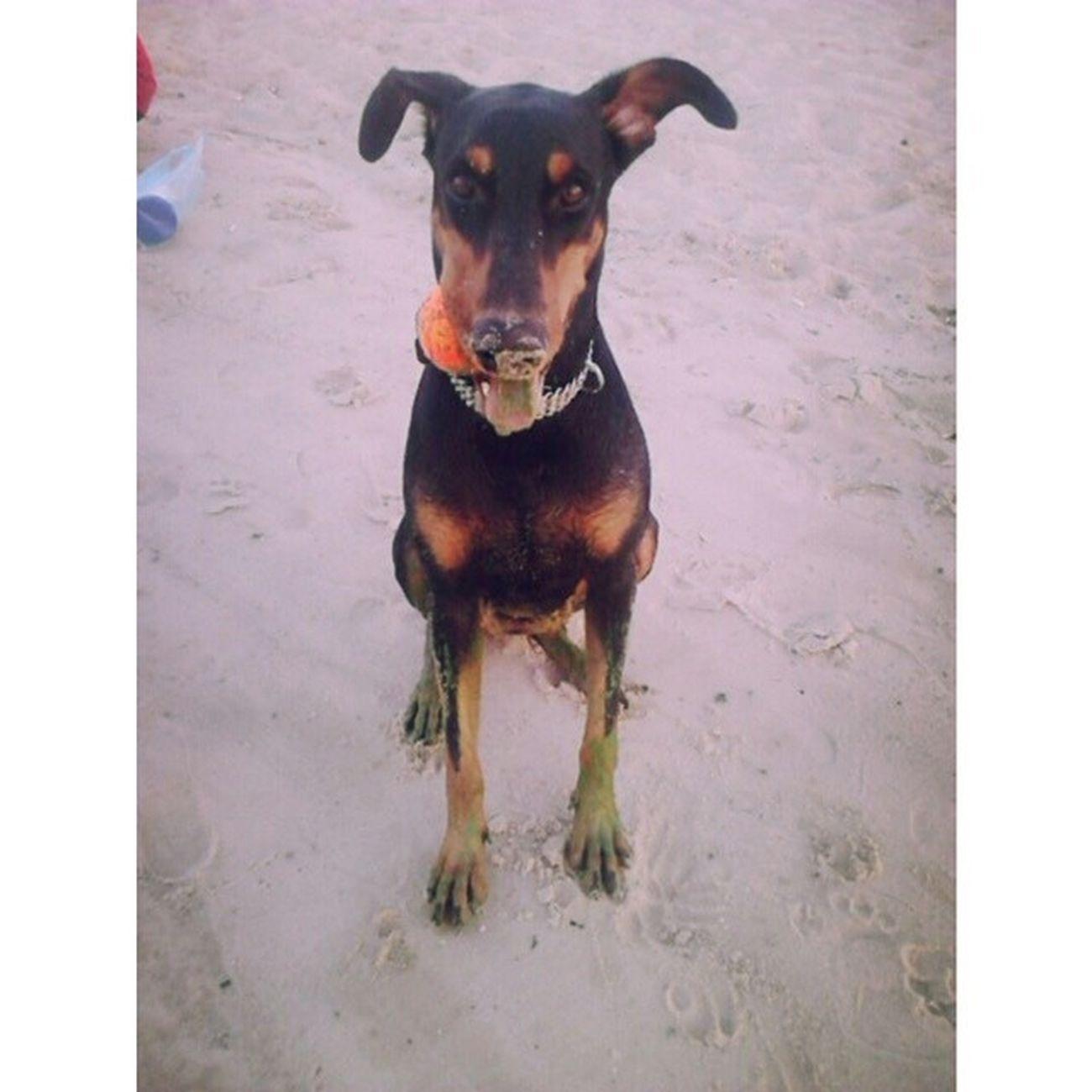 Ещё пару дней погуляем по пляжу и Берта окончательно превратится в ЖАБУ , Днепр цветет и плохо пахнет... Бе собака доберман прогулки зеленые_лапы dog doberman