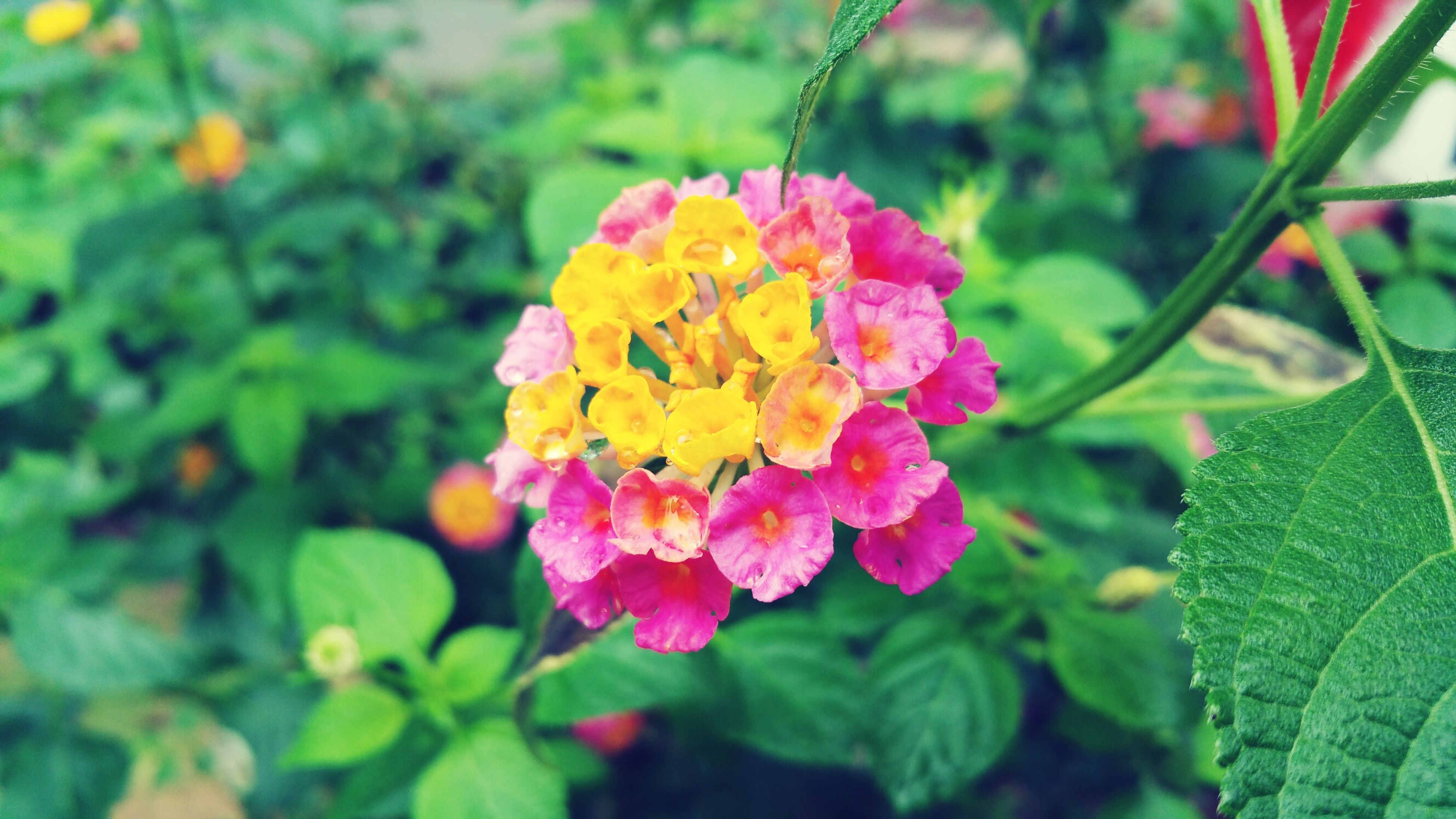 flower, freshness, fragility, petal, growth, beauty in nature, pink color, flower head, focus on foreground, nature, close-up, blooming, leaf, plant, in bloom, park - man made space, springtime, blossom, green color, day