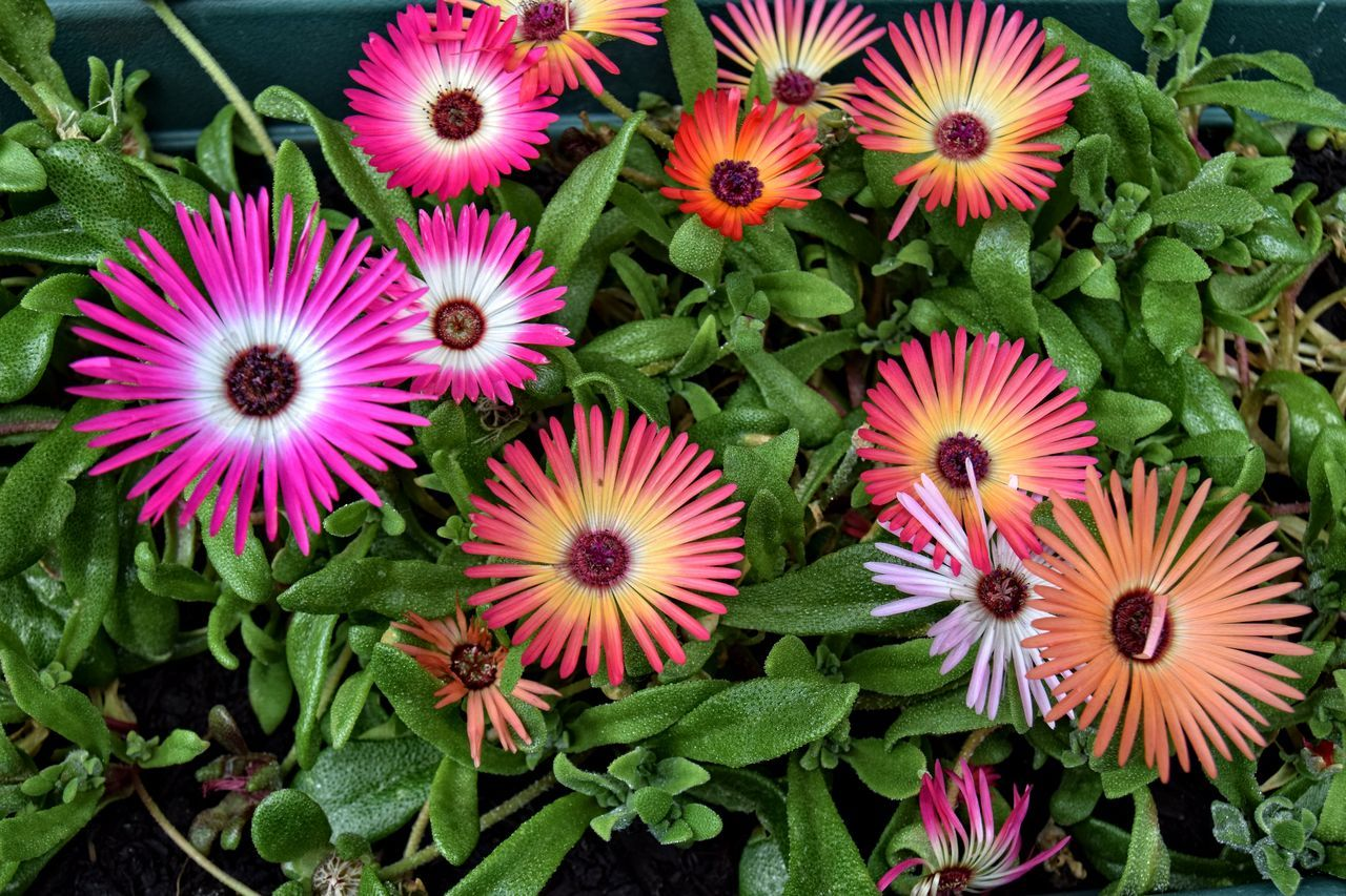 Beauty In Nature Blooming Blossom Botany Close-up Day Flower Flower Head Fragility Freshness Green Color Growth In Bloom Livingstone Daisies Mesembryanthemum Nature No People Outdoors Petal Pink Color Plant Pollen