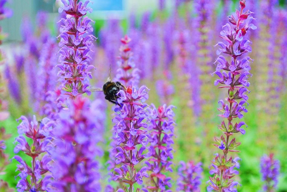 Lavender Bamblebee Flowers Flowers, Nature And Beauty Flowerlovers Moscow Moscow, Москва Москва шмель лаванда