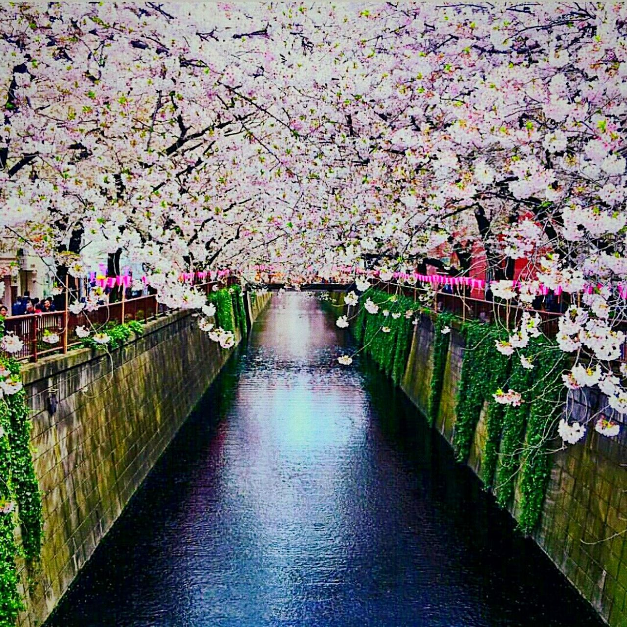 flower, blossom, springtime, beauty in nature, tree, cherry tree, nature, river, growth, freshness, no people, fragility, branch, outdoors, day, water, footbridge
