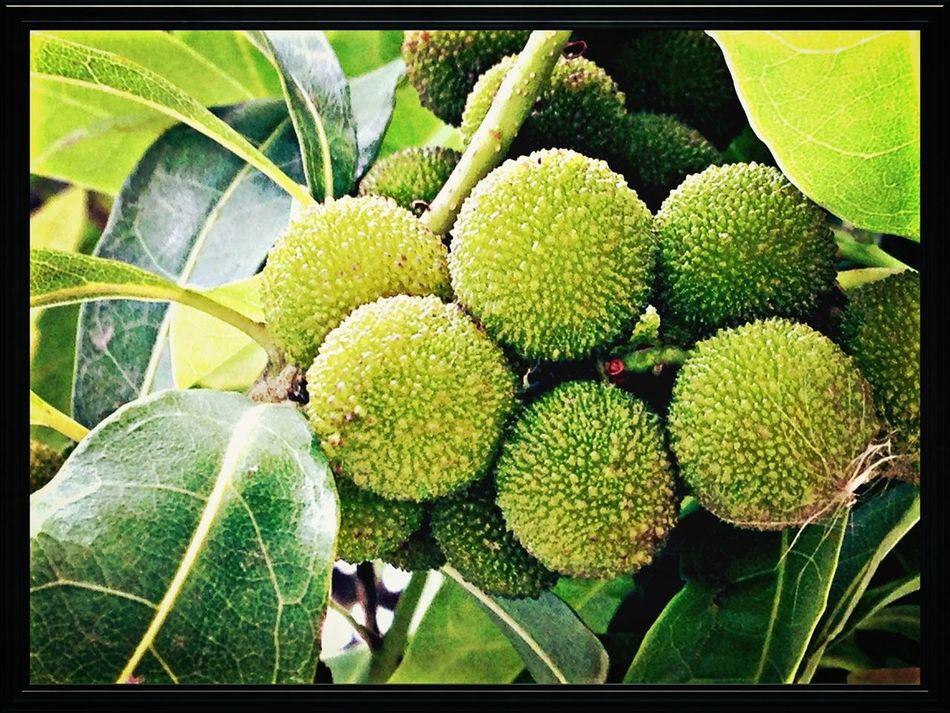 Fruit EyeEm Nature Lover Myrica Rubra Bayberry